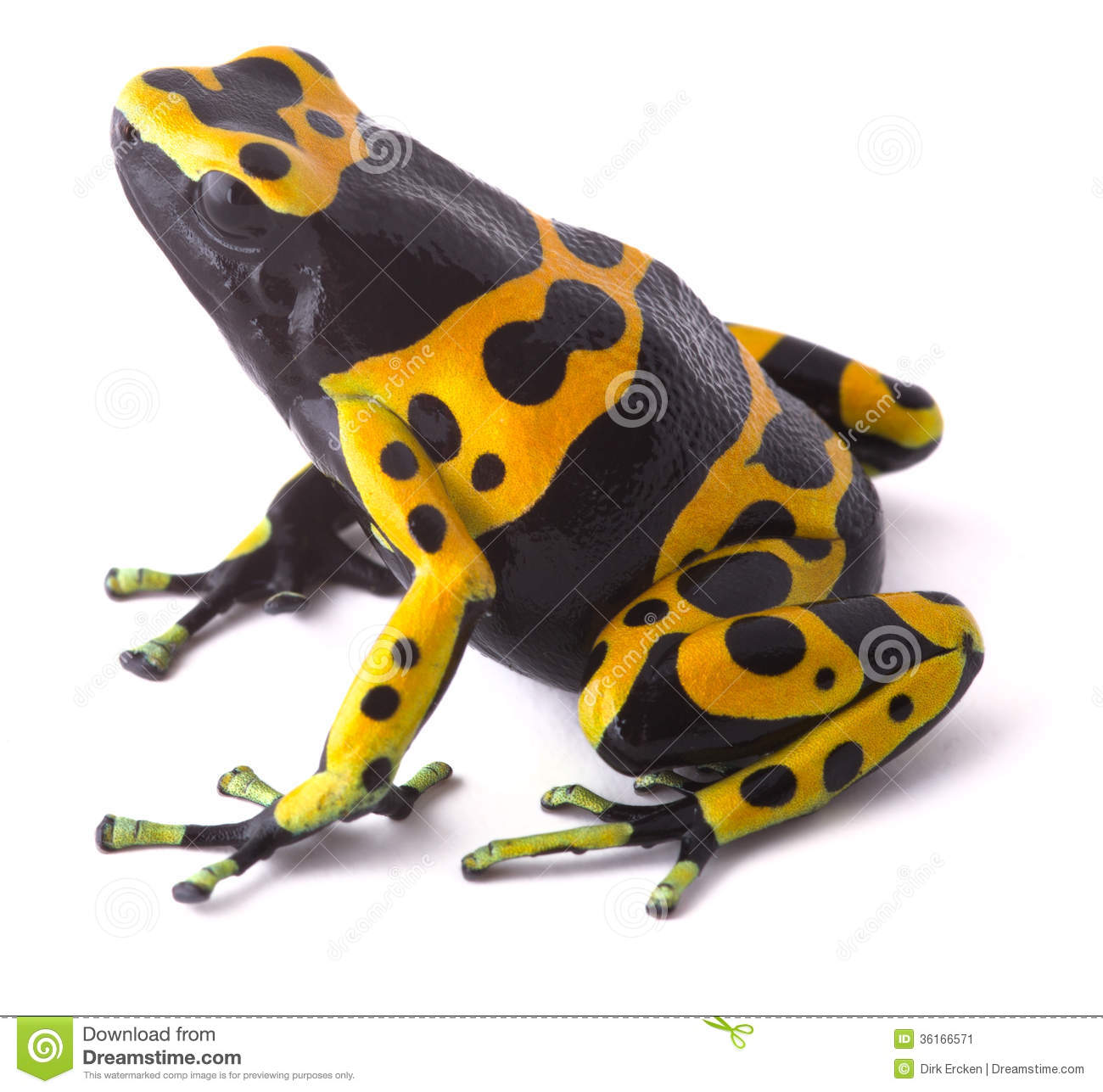 Yellow Poison Dart Frog Stock Image.