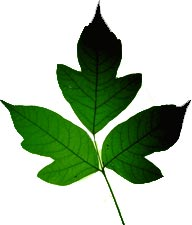 Poison ivy clipart.