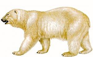 Free Polar Bears Clipart.