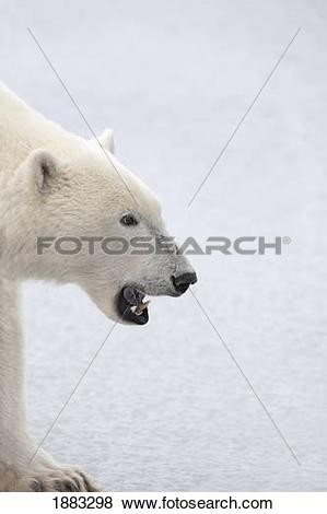 Pictures of Polar Bear (Ursus Maritimus) With His Fierce Mouth.