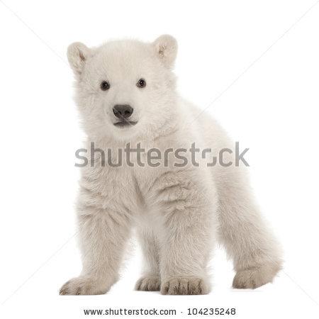 Polar Bear Cub Stock Photos, Royalty.