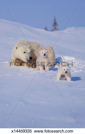 Stock Image of Polar bear (Ursus maritimus) mother with two cubs.
