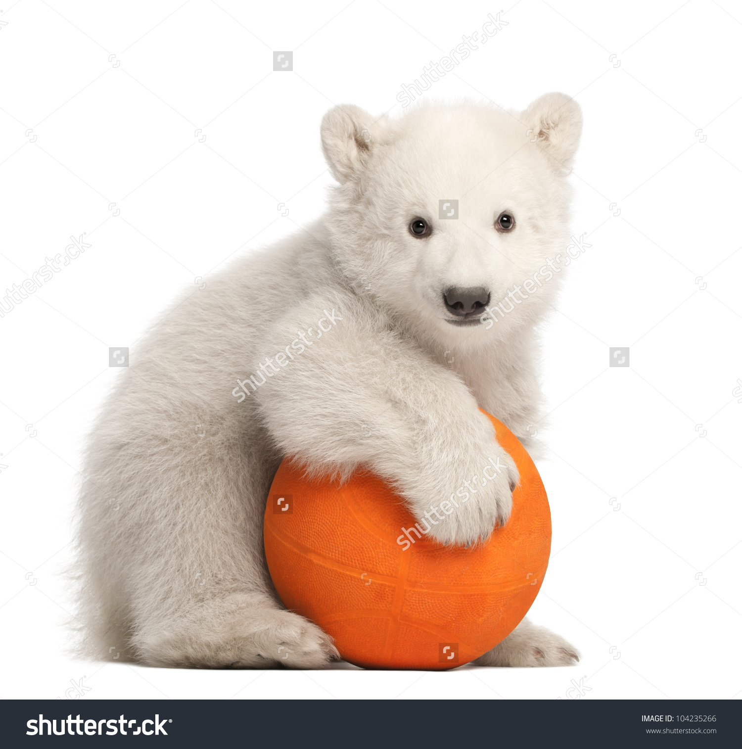 Polar Bear Cub, Ursus Maritimus, 3 Months Old, Playing With Orange.