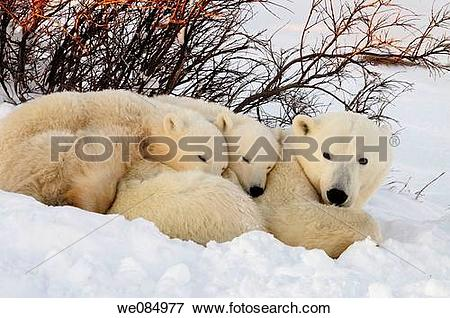 Picture of Polar bear Ursus maritimus Mother and cubs we084977.