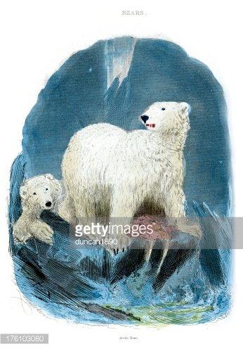 Polar Bear Ursus maritimus.