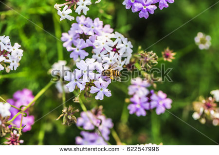 Polemoniaceae Stock Images, Royalty.