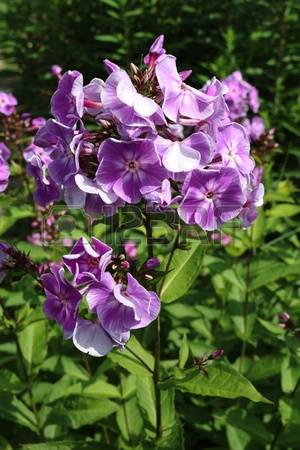 Polemoniaceae Images, Stock Pictures, Royalty Free Polemoniaceae.