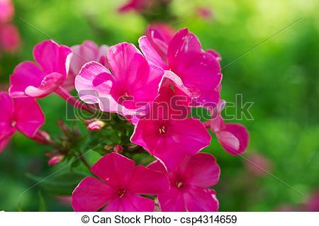 Stock Photographs of Blooming Phlox paniculata, Polemoniaceae.
