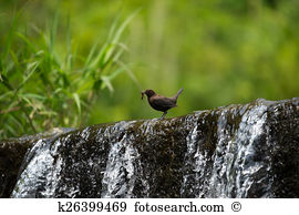 Cinclus Stock Photo Images. 239 cinclus royalty free pictures and.