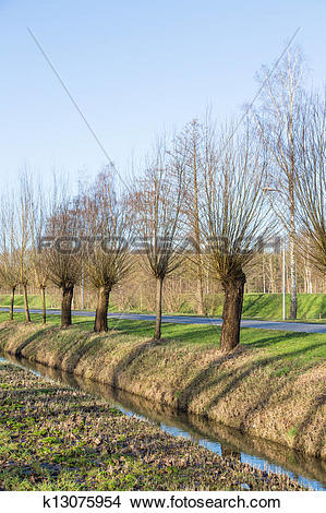 Stock Photo of Pollard willows along a ditch and road k13075954.
