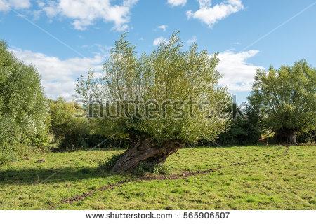 Pollard Trees Stock.