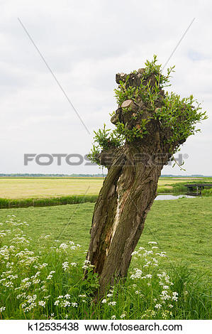 Pictures of Old pollard willow in Holland k12535438.