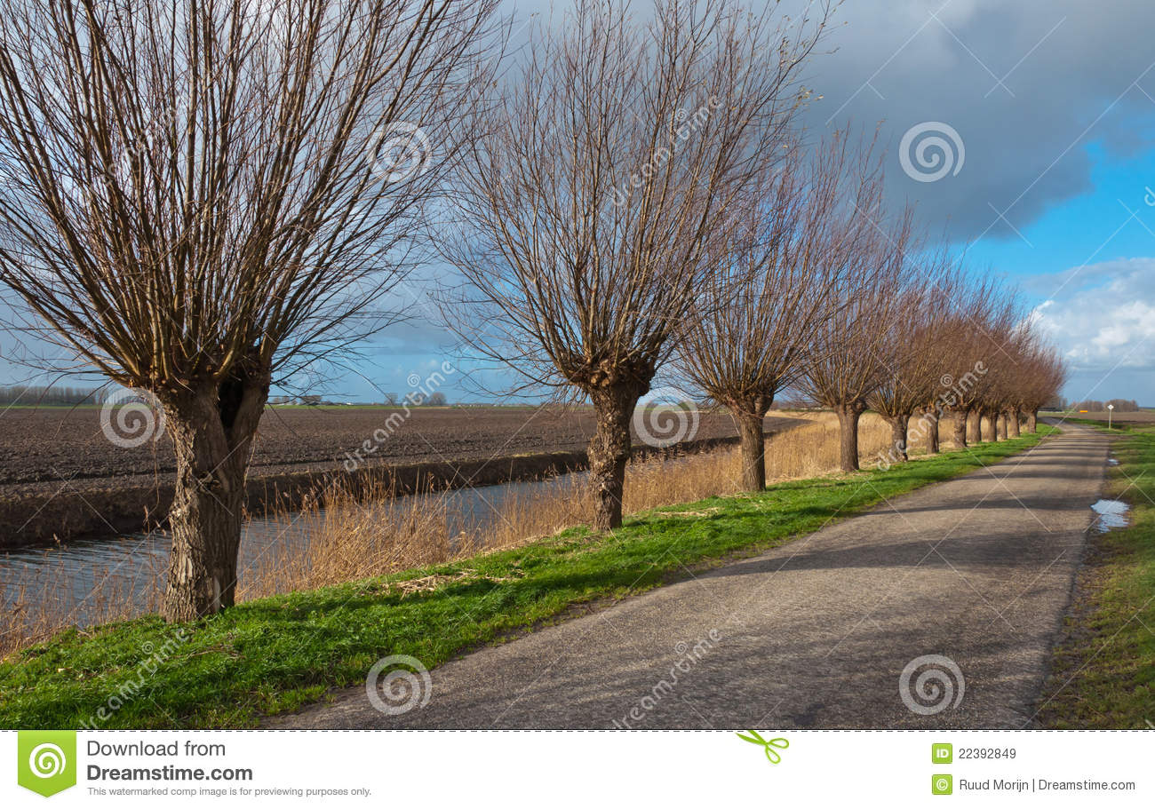 Row Of Pollard Willows Royalty Free Stock Images.