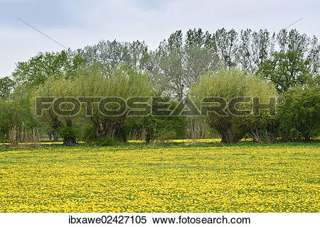 "Stock Image of ""Pollard Willows (Salix) along the Elbe Cycle Route."