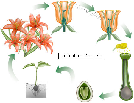 Pollination Life Cycle.
