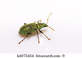 Weevil Stock Photos and Images. 1,140 weevil pictures and royalty.