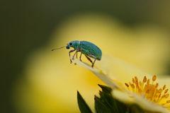 Beetle Polydrusus Tereticollis Stock Photo.