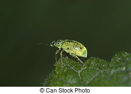 Stock Photo of Small Turquoise Beetle (Polydrusus sericeus.
