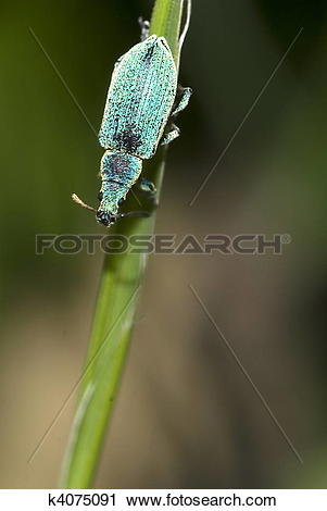 Stock Photography of Small Turquoise Beetle (Polydrusus sericeus.