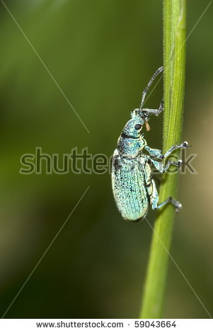 Small Turquoise Beetle (Polydrusus Sericeus) On A Blade Of Grass.