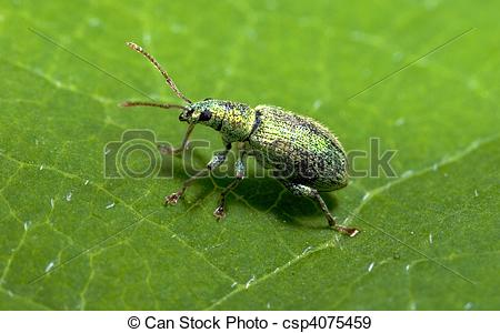 Stock Photographs of Small Turquoise Beetle (Polydrusus sericeus.