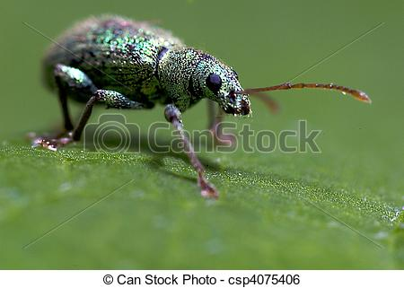 Stock Image of Small Turquoise Beetle (Polydrusus sericeus) on a.