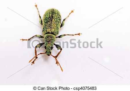 Stock Photos of Small Turquoise Beetle (Polydrusus sericeus.
