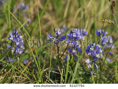 Milkwort Stock Photos, Images, & Pictures.