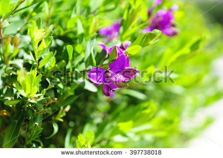 Polygala Stock Photos, Images, & Pictures.