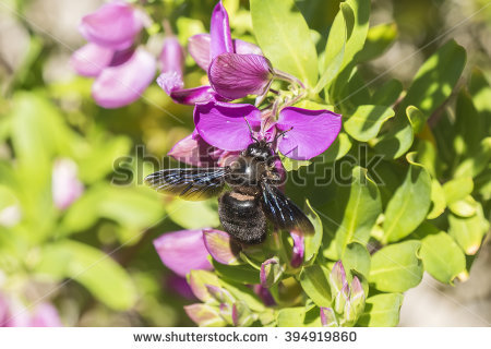 Xylocopa Stock Photos, Royalty.