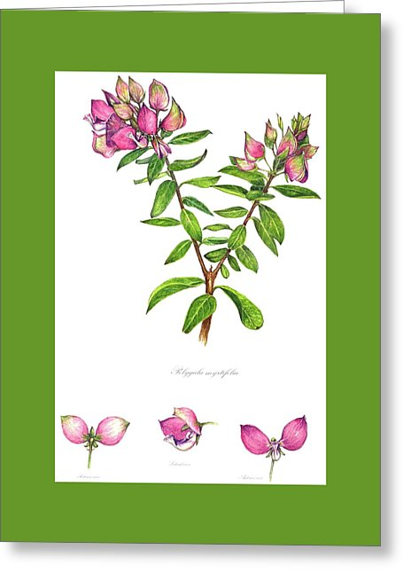 Septemberbossie Polygala Myrtifolia Painting by Heidi Kriel.
