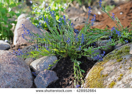 Polygala Stock Photos, Royalty.