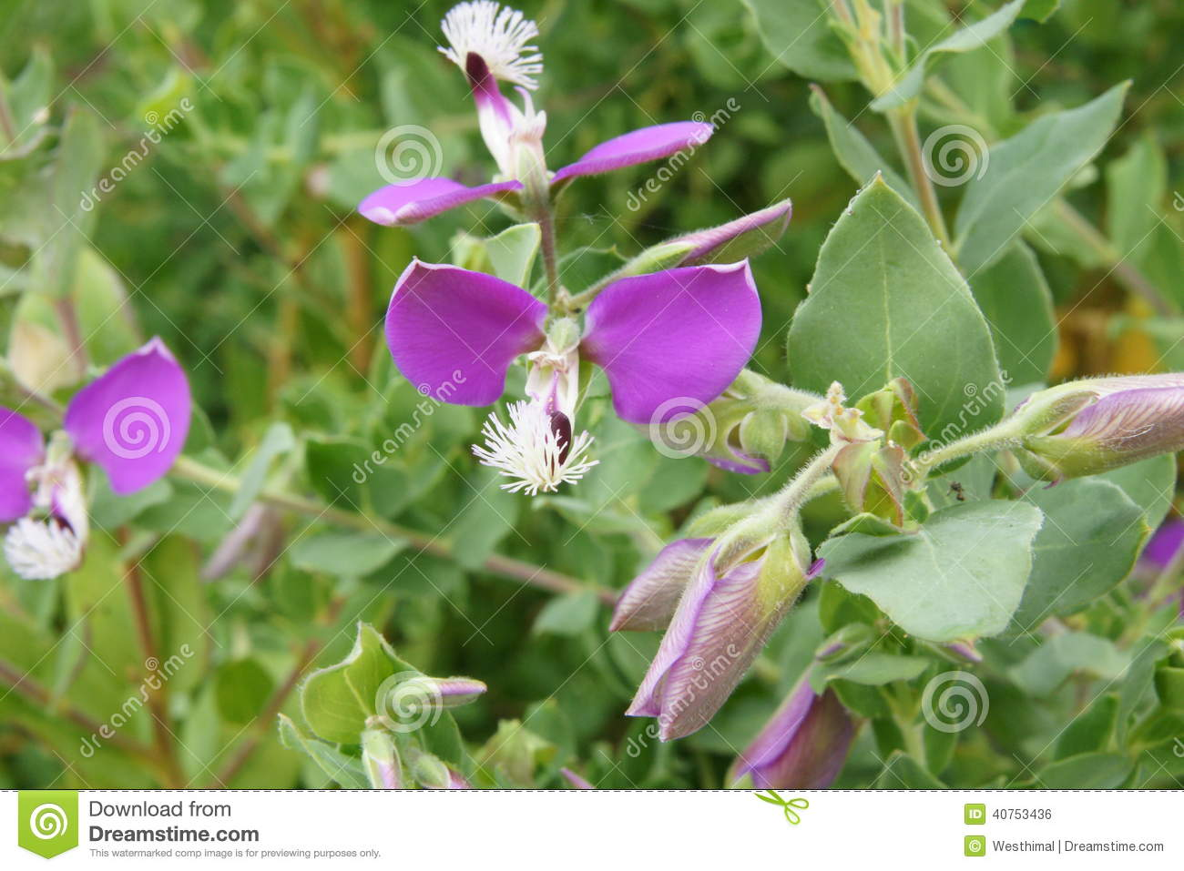 Polygala Dalmaisiana, Sweet Pea Shrub Stock Photo.