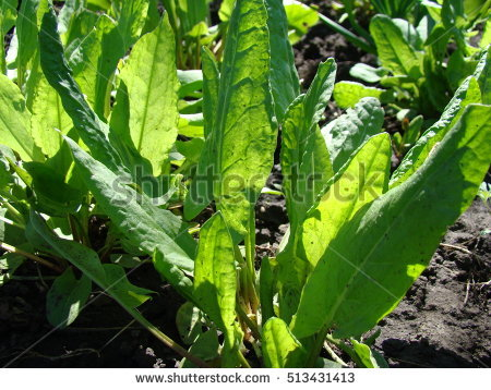 Polygonaceae Stock Images, Royalty.