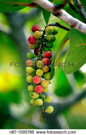 Stock Photograph of raisinier seaside, family Polygonaceae n87.