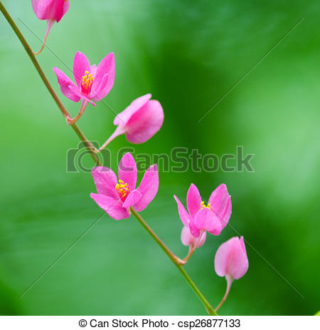 Stock Photos of Antigonon leptopus, polygonaceae, southern Vietnam.