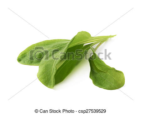 Stock Photo of Green polygonaceae sorrel spinach dock leaves.