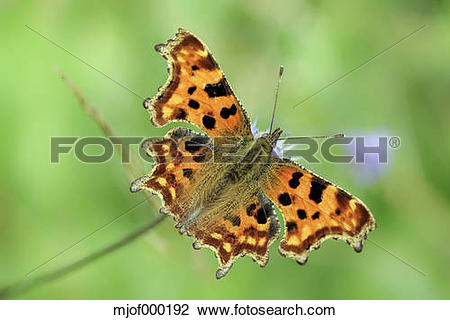 Stock Photo of Germany, Comma butterfly, Polygonia c.