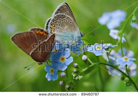 Polyommatus clipart #16