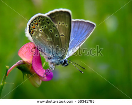 Amandas Blue Butterfly Polyommatus Stock Photos, Images.