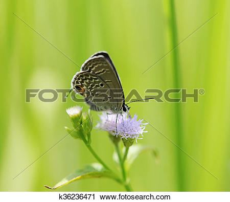Stock Photography of Common Blue (Polyommatus icarus) butterfly in.