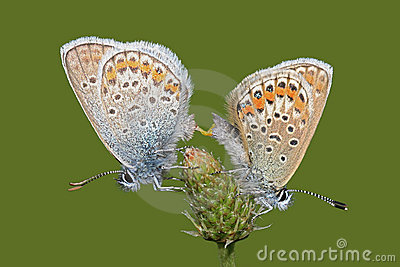 Gossamer Winged Butterfly Stock Photos, Images, & Pictures.