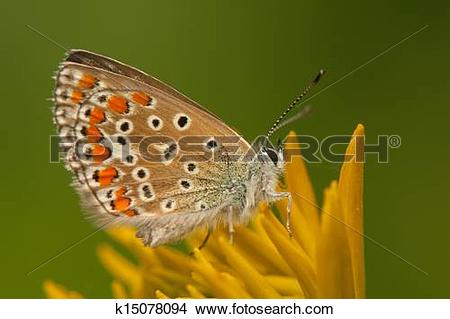 Stock Photo of Polyommatus icarus k15078094.