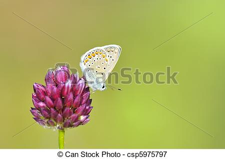 Picture of Butterfly Polyommatus Icarus csp5975797.
