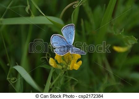 Stock Photo of Amanda\\\'s Blue Butterfly.