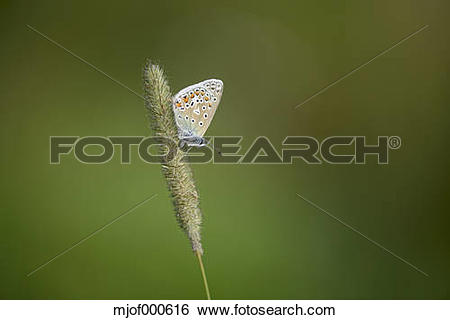 Stock Images of England, Common blue butterfly, Polyommatus icarus.