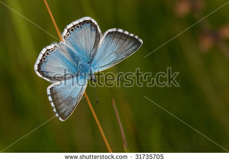 Common Blue Butterfly Stock Photos, Royalty.
