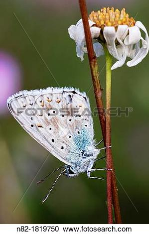 Stock Photography of Common Blue Butterfly Polyommatus icarus.