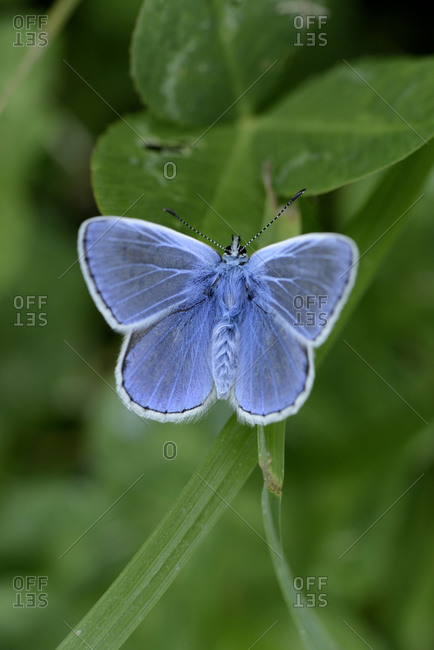 blue butterfly stock photos.