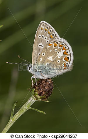 Stock Image of Common Blue butterfly, Germany.